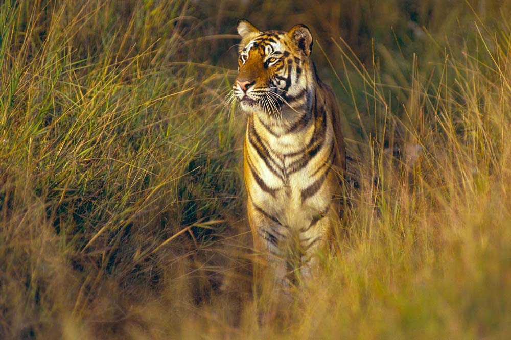 1-tigers-central-india